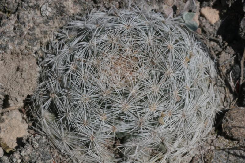 Mammillaria wohlschlageri Img_1511