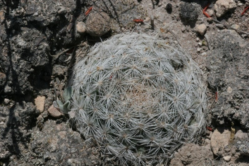Mammillaria wohlschlageri Img_1512
