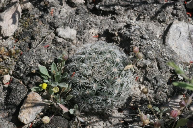 Mammillaria wohlschlageri Img_1513