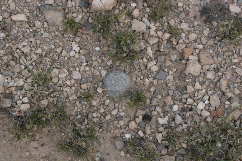 Mammillaria wohlschlageri Img_1514