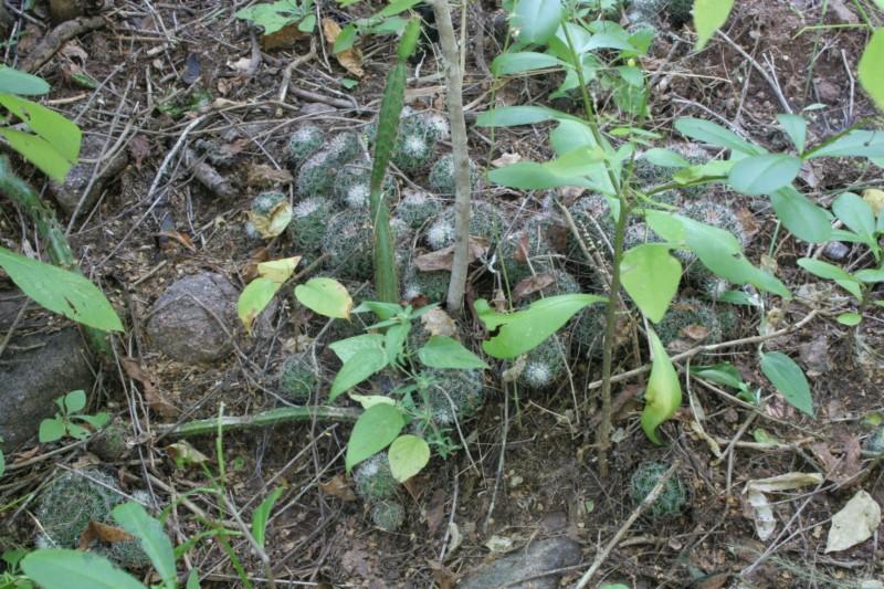 Mammillaria beneckei Img_2011