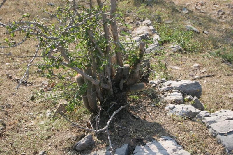 Mammillaria guerreronis Img_2116