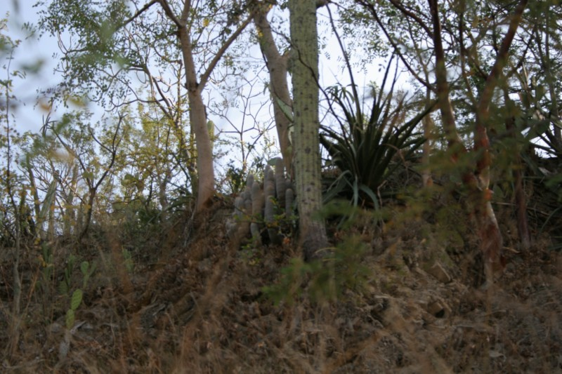 Mammillaria guerreronis Img_2117