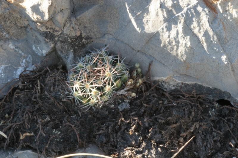 Mammillaria picta Img_3910