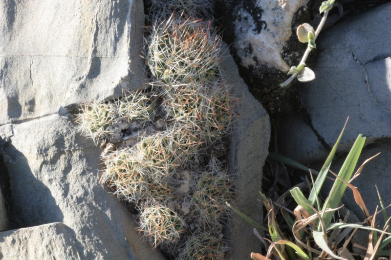 Mammillaria picta Img_3912