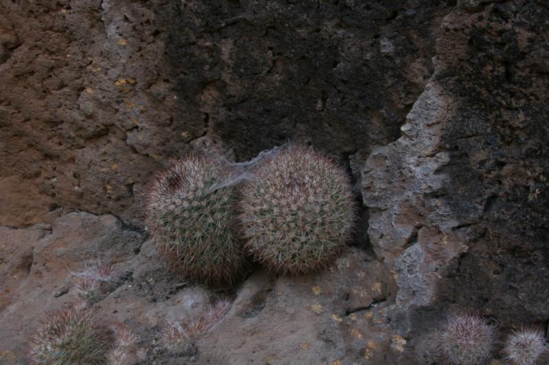 Mammillaria supraflumen Img_4613