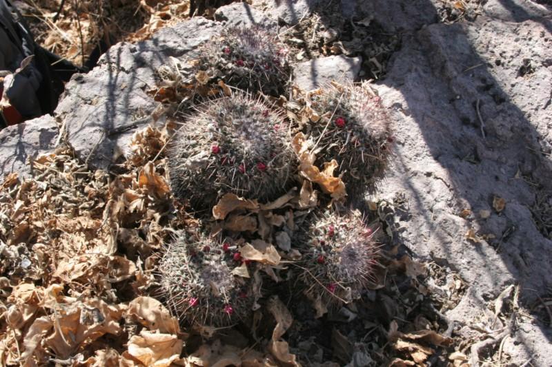 Mammillaria petterssonii Img_4616