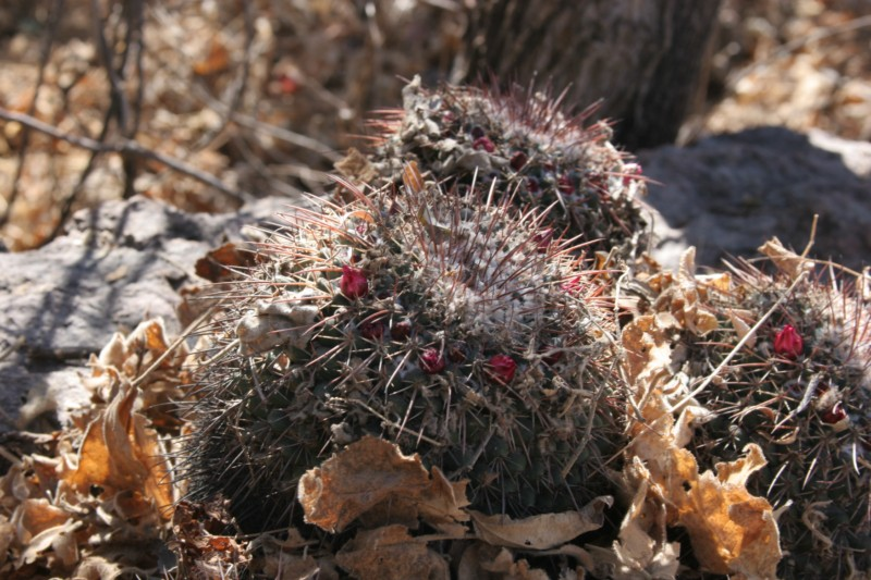 Mammillaria petterssonii Img_4617