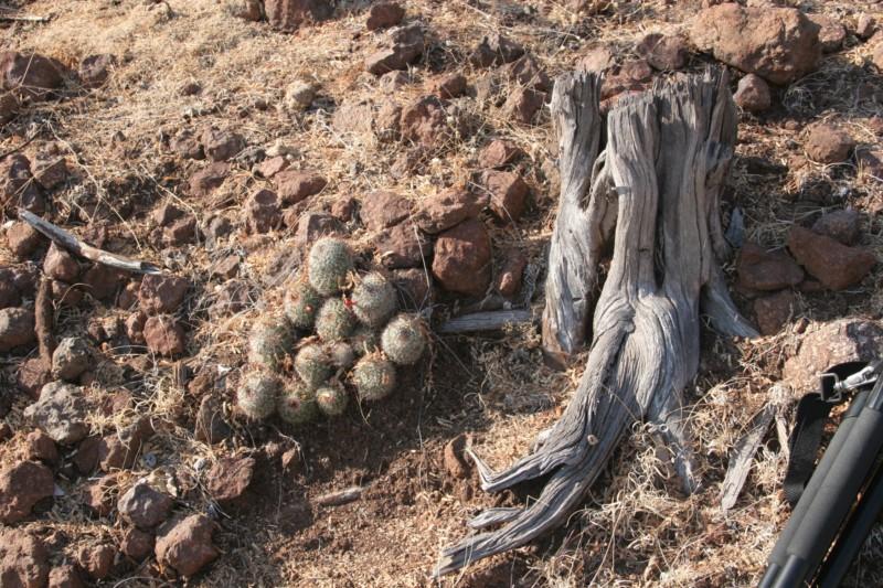 Mammillaria beneckei Img_4625