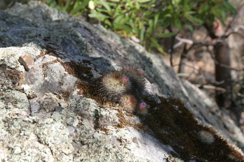 Mammillaria jaliscana Img_4718