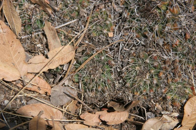 Mammillaria melanocentra Img_5313