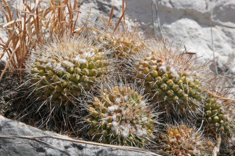 Mammillaria compressa Img_5319