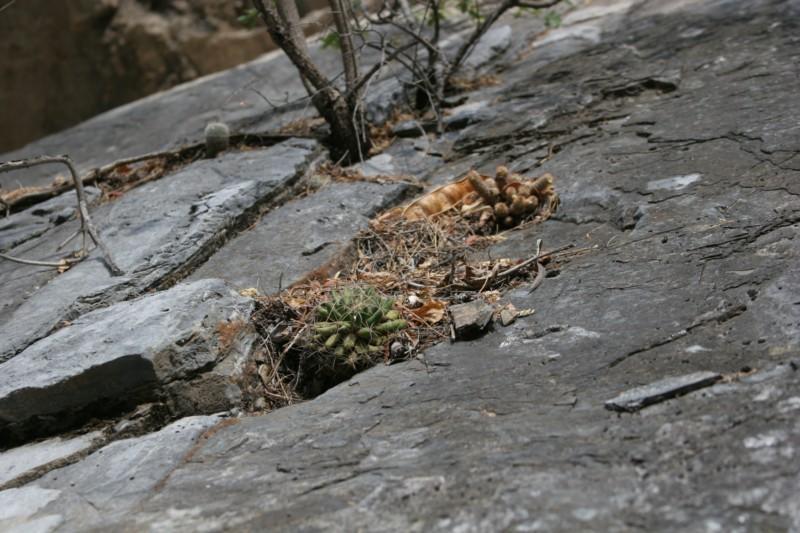 Mammillaria longimamma Img_5610