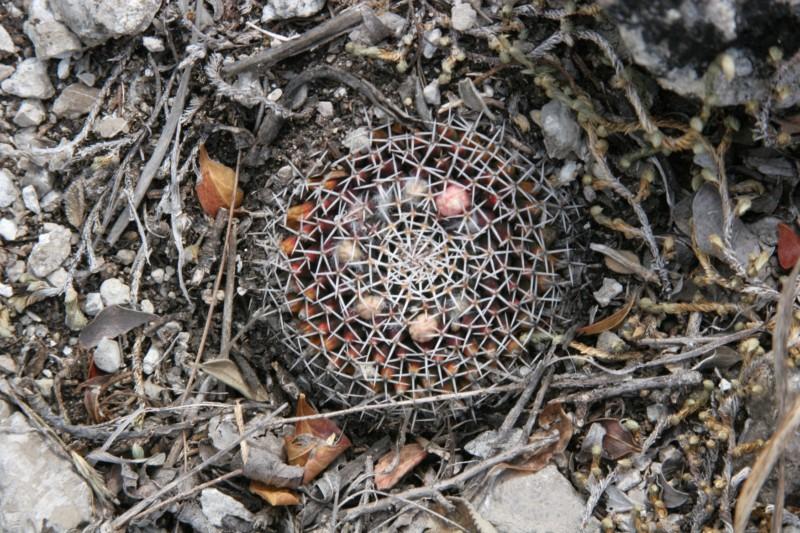 Mammillaria sempervivi Img_5712