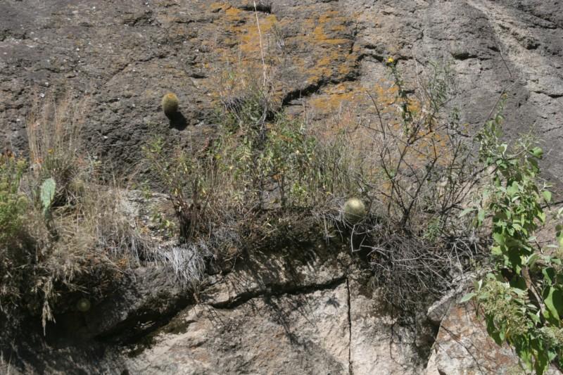 Mammillaria rhodantha Img_5910
