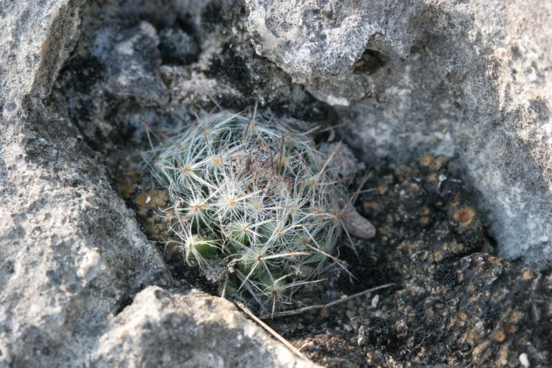 Mammillaria pilispina Img_6010