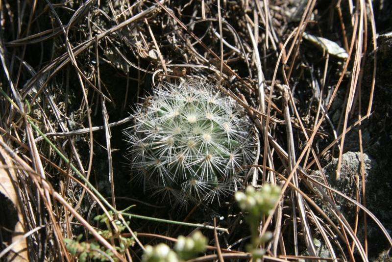 Mammillaria laui Img_6216