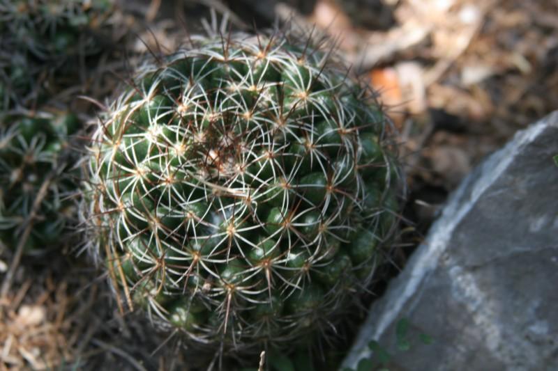 Mammillaria melaleuca Img_6223