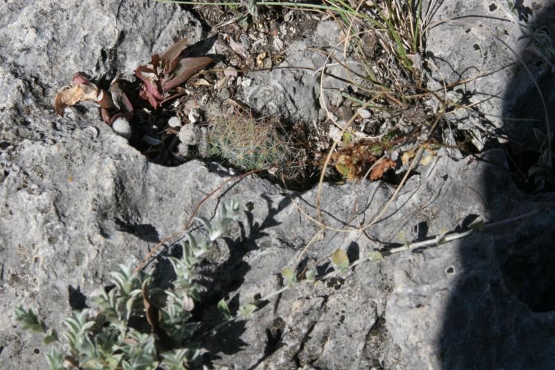 Mammillaria pilispina Img_6310