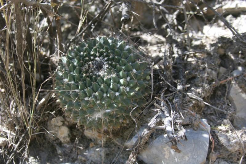 Mammillaria melanocentra Img_6418