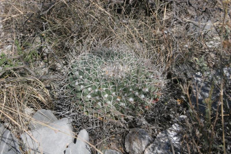 Mammillaria winterae  Img_6513