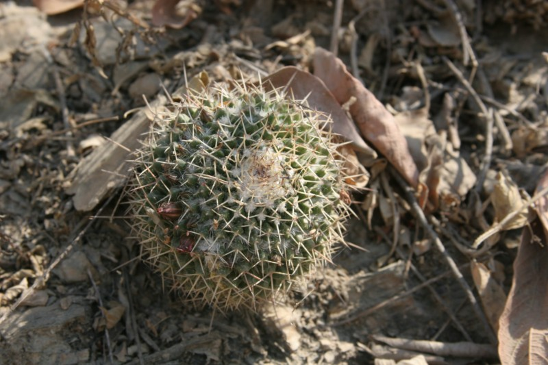 Mammillaria multiseta Img_6923