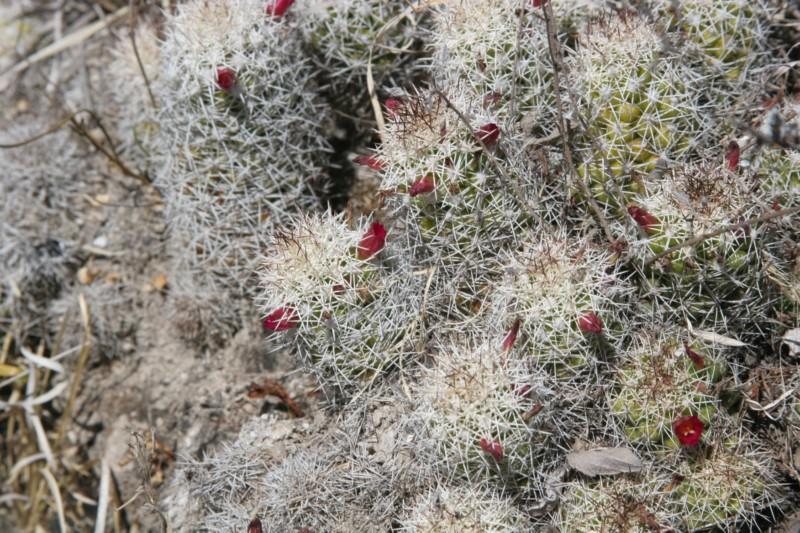 Mammillaria sphacelata Img_7125