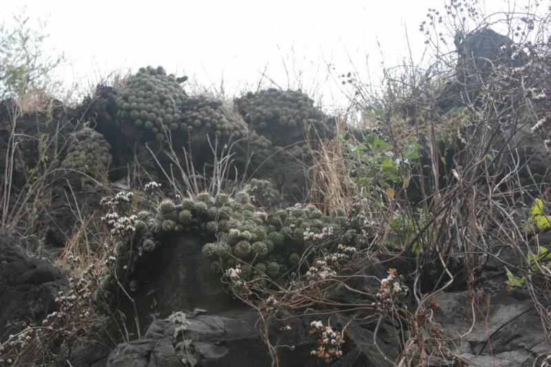 Mammillaria sartorii Img_7214