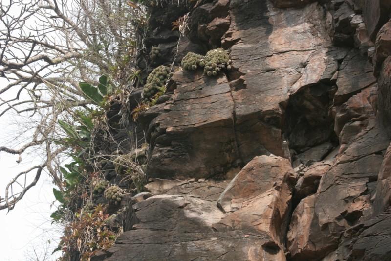 Mammillaria sartorii Img_7215