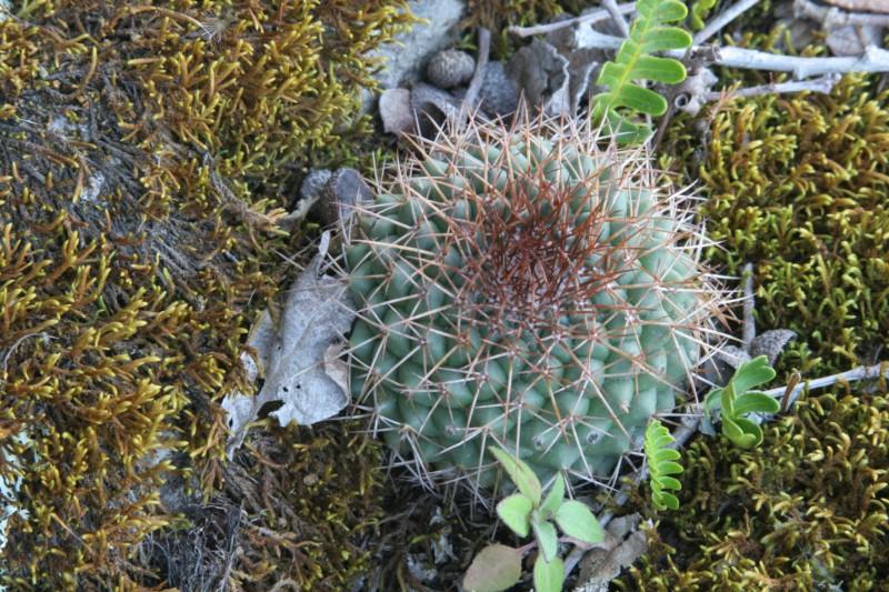 Mammillaria polythele Img_7221
