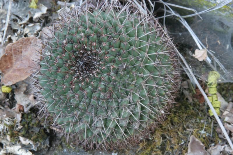 Mammillaria polythele Img_7222