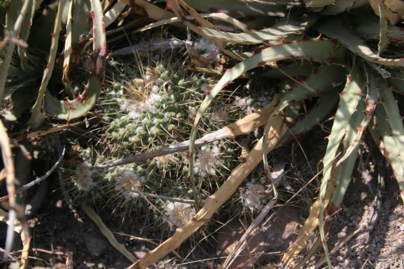 Mammillaria compressa Img_7229