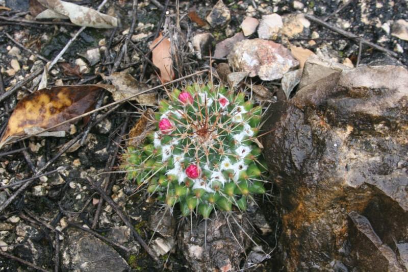 Mammillaria compressa Img_7315