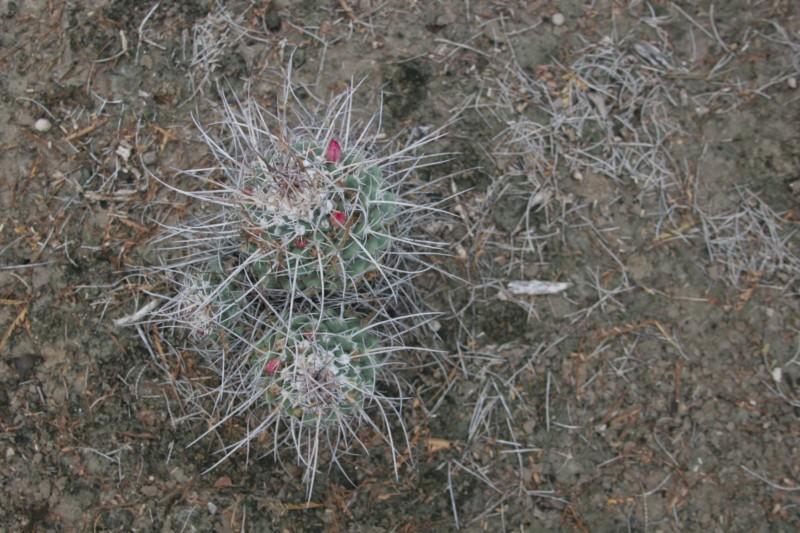 Mammillaria compressa Img_7319