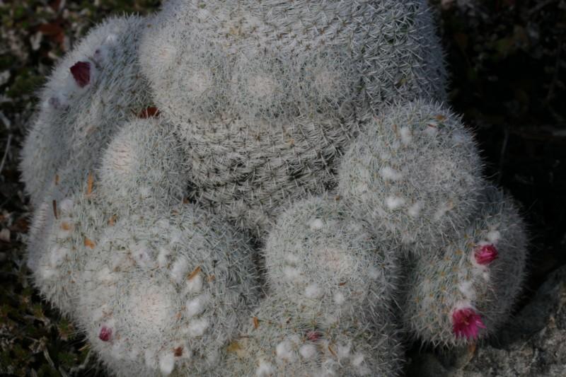 Mammillaria klissingiana Img_7415