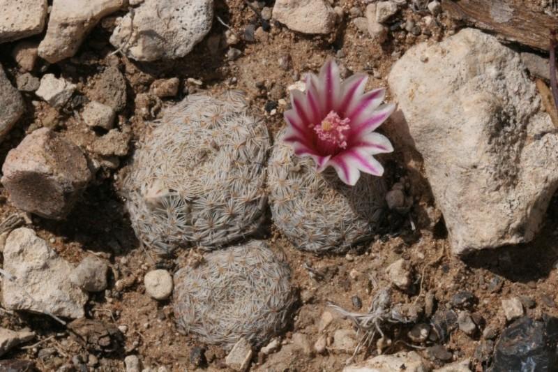Mammillaria hermosana Img_7618
