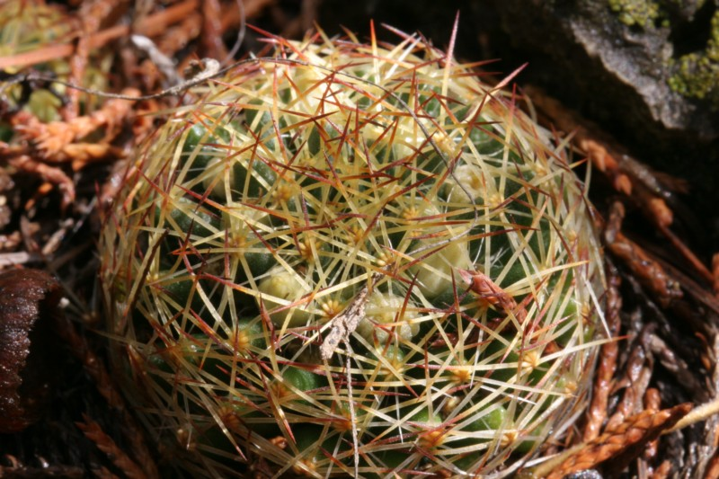 Mammillaria picta Img_7713
