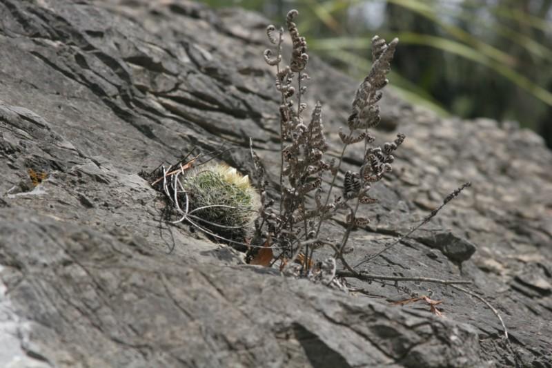 Mammillaria picta Img_7715