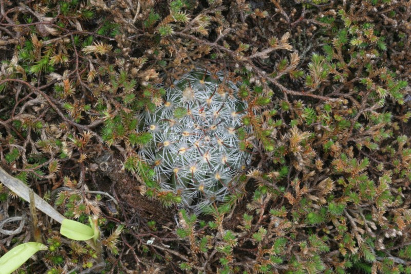 Mammillaria monancistracantha Img_7810