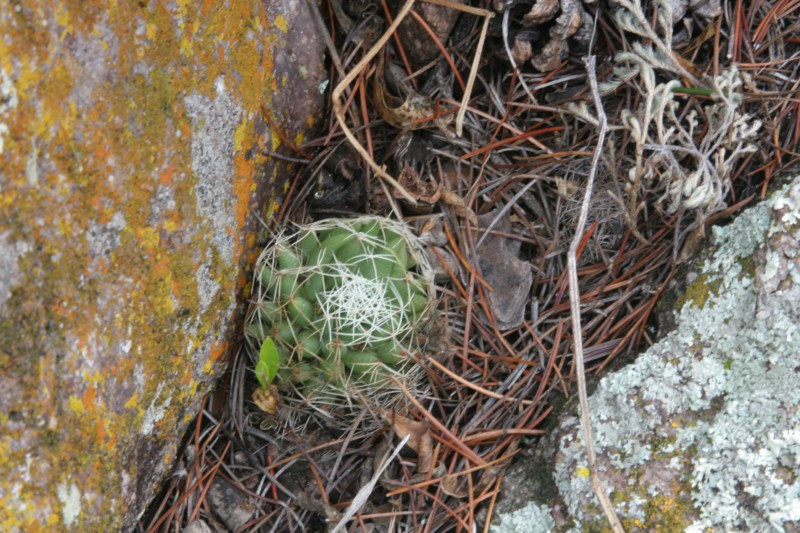 Mammillaria decipiens Img_7815