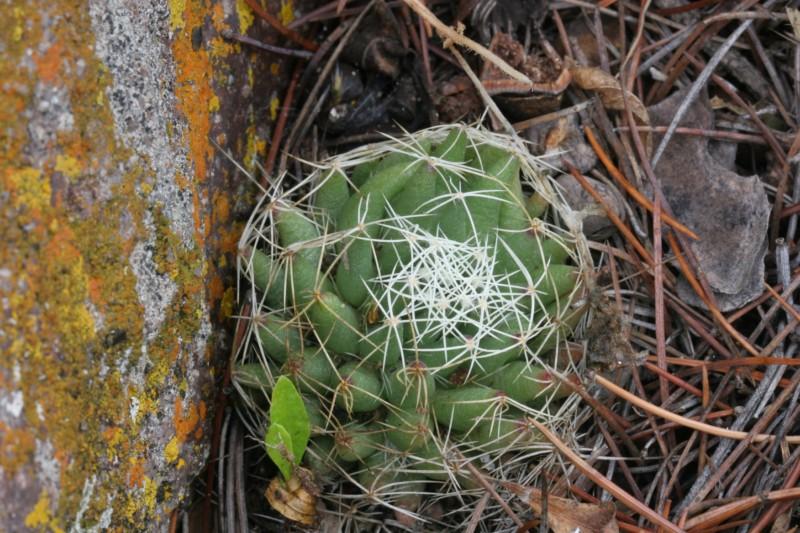 Mammillaria decipiens Img_7816