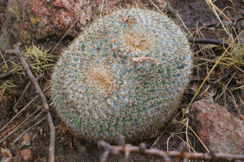 Mammillaria muehlenpfordtii Img_7832