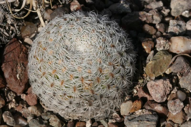 Mammillaria solisioides Img_8222
