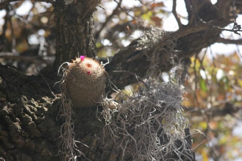 Mammillaria vaupelii Img_8225