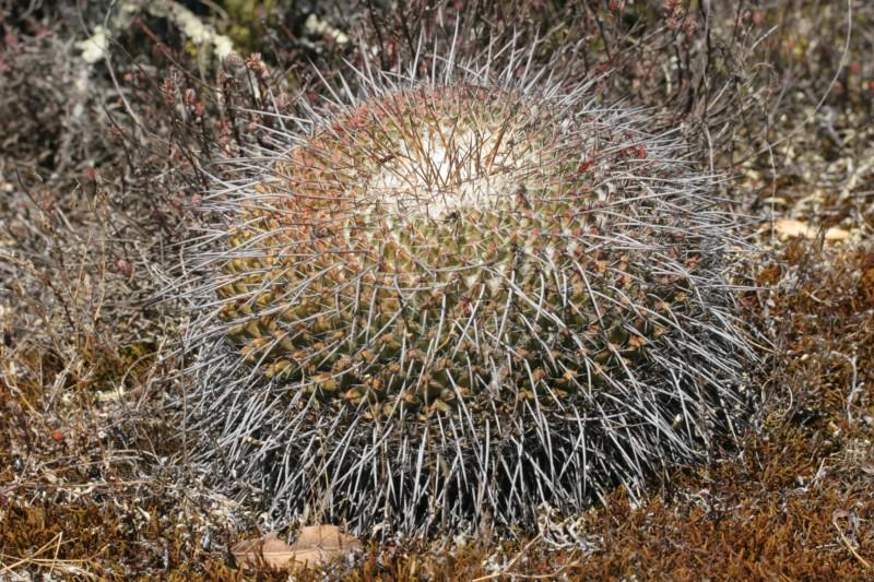 Mammillaria casoi Img_8228