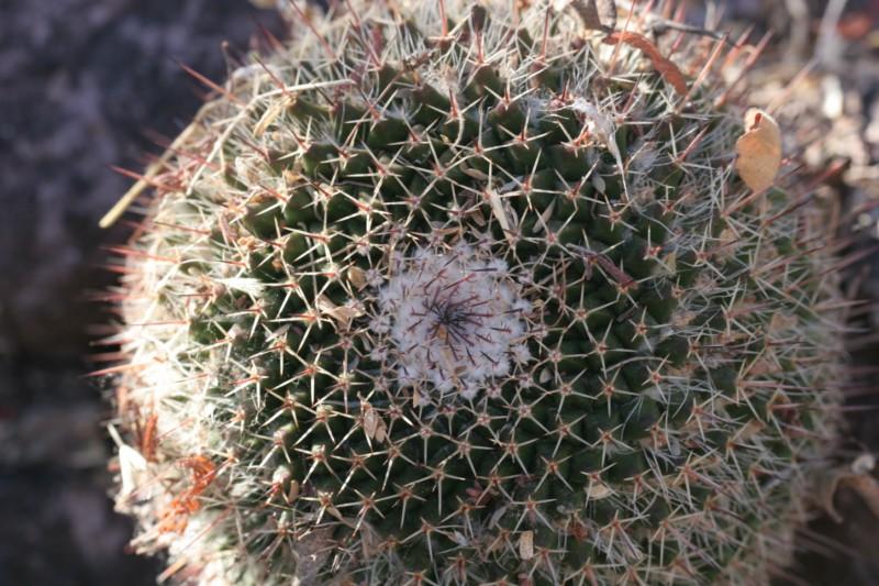 Mammillaria multiseta Img_8238
