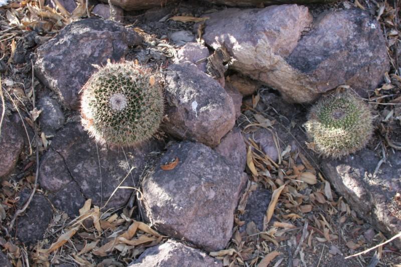 Mammillaria multiseta Img_8239