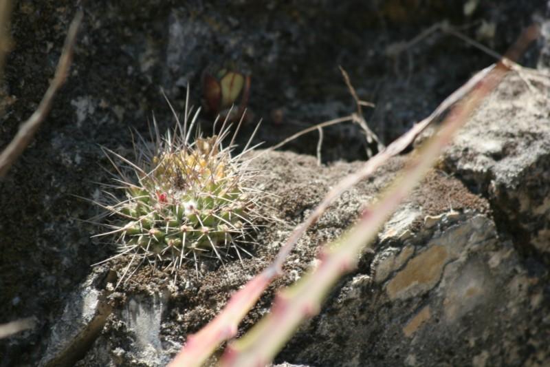 Mammillaria yoloxis Img_8410