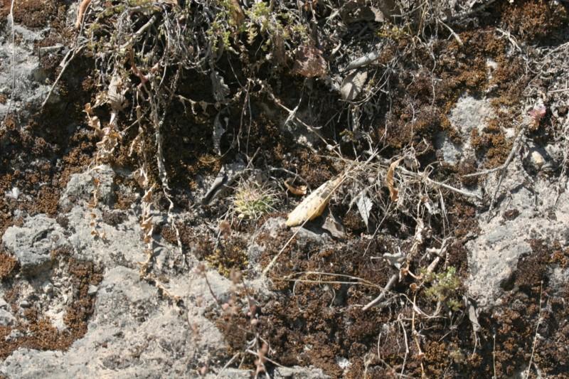 Mammillaria yoloxis Img_8411