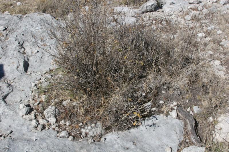 Mammillaria kraehenbuehlii Img_8415